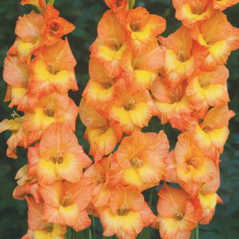 Glaïeul à grandes fleurs Conca d´Oro