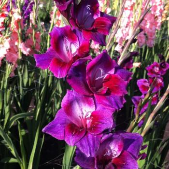 Glaïeul à grandes fleurs Velvet Eyes