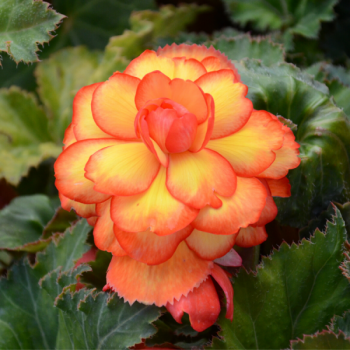 Begonias Double Picotee Arlequin