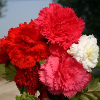 Begonias à fleur d´oeillet en Mélange - Lot de 10 Bulbes