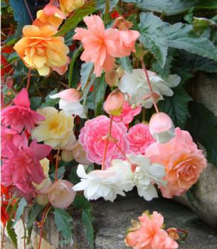 Begonias Cascades Pastels en Mélange - Lot de 10 Bulbes