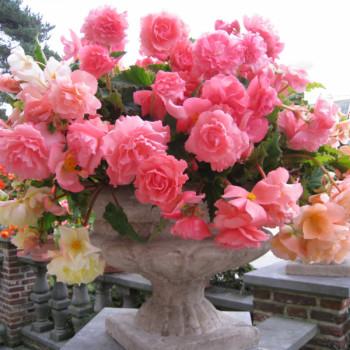 Begonias retombants Parfumés en Mélange - Lot de 3 Bulbes