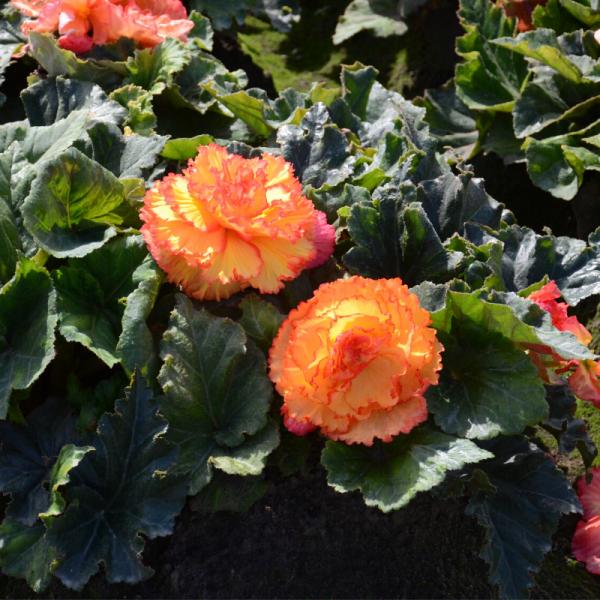 Begonias Prima Donna Aurore