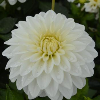 Dahlia nain White Pearl