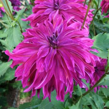 Dahlia Bangkok Violet®