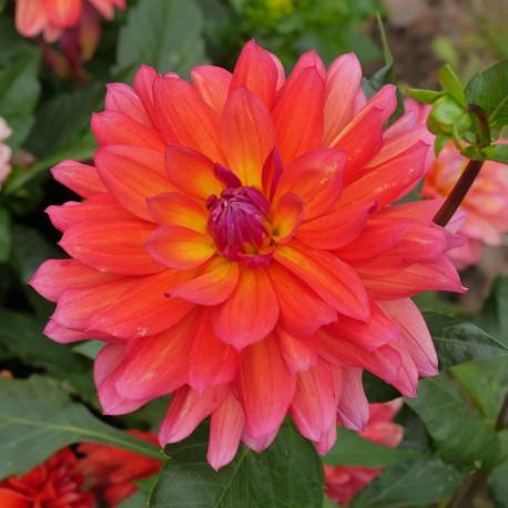 Dahlia nain Tricolor
