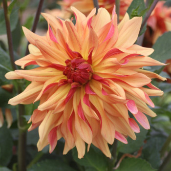Dahlia French Cancan® - Lot de 3 Bulbes