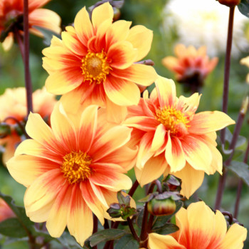 Dahlia Jardin des Plantes de Paris - Lot de 2 Bulbes LABEL ROUGE