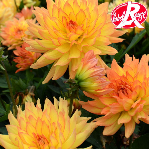 Dahlia nain Tendresse - Lot de 2 Bulbes