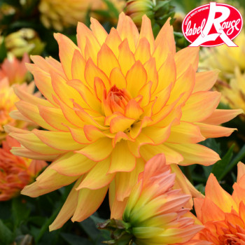 Dahlia nain Tendresse Label Rouge
