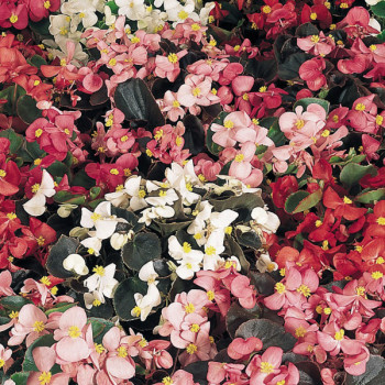 Begonias simples à massif