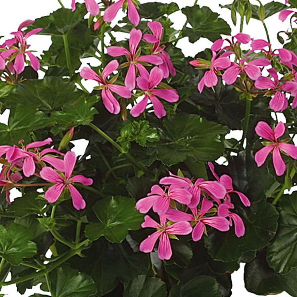 Géranium lierre à fleurs simples