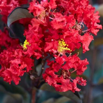 Lilas des Indes - Lagerstroemia Black Solitaire® Crimson Red