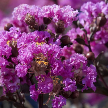Lilas des Indes - Lagerstroemia Black Solitaire® Purely Purple