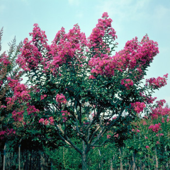Lilas des Indes - Lagerstroemia Bergerac®