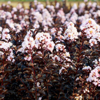Lilas des Indes - Lagerstroemia Black Solitaire® Blush