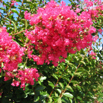 Lilas des Indes - Lagerstroemia Grand Cru®