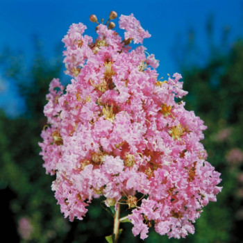 Lilas des Indes - Lagerstroemia Monbazillac®