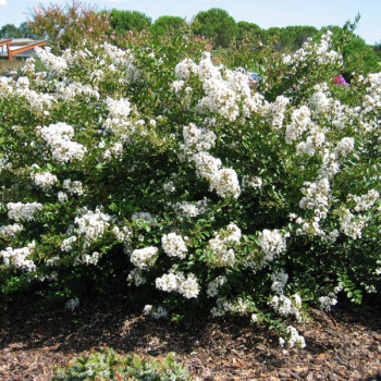 Lilas des Indes - Lagerstroemia Petit´ Canaille® Blanc