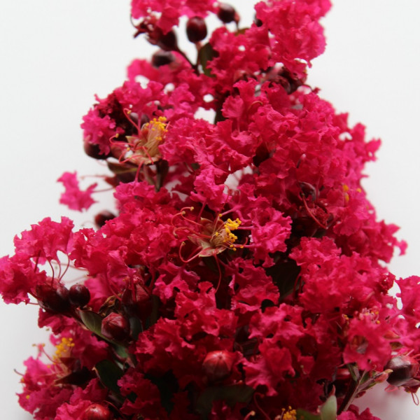 Lilas des Indes - Lagerstroemia Red Imperator