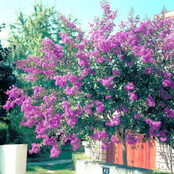 Lilas des Indes - Lagerstroemia Terre chinoise®