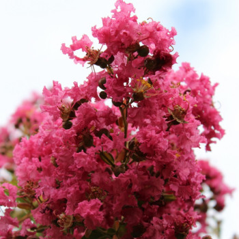 Lilas des Indes - Lagerstroemia Yang Tse®