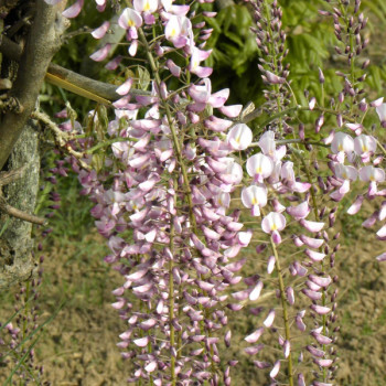 Glycine du Japon Pink Ice