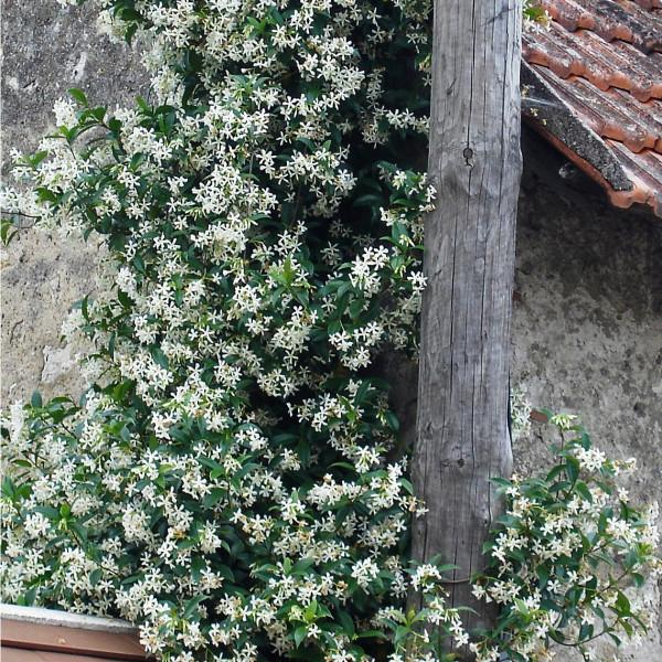 Jasmin étoilé - Trachelospermum jasminoides