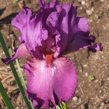 Iris Ambroisie