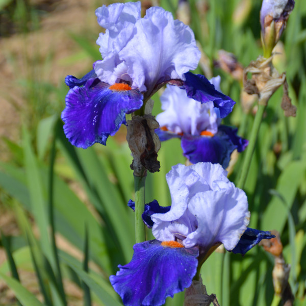 Iris Chelsea Blue