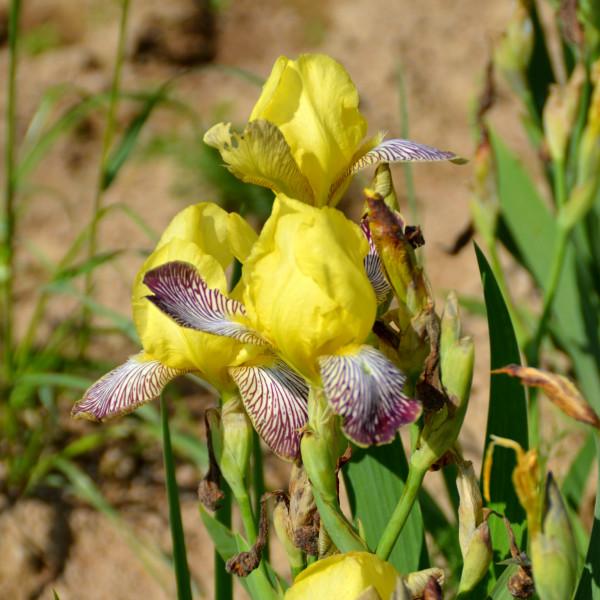 Iris Gracchus