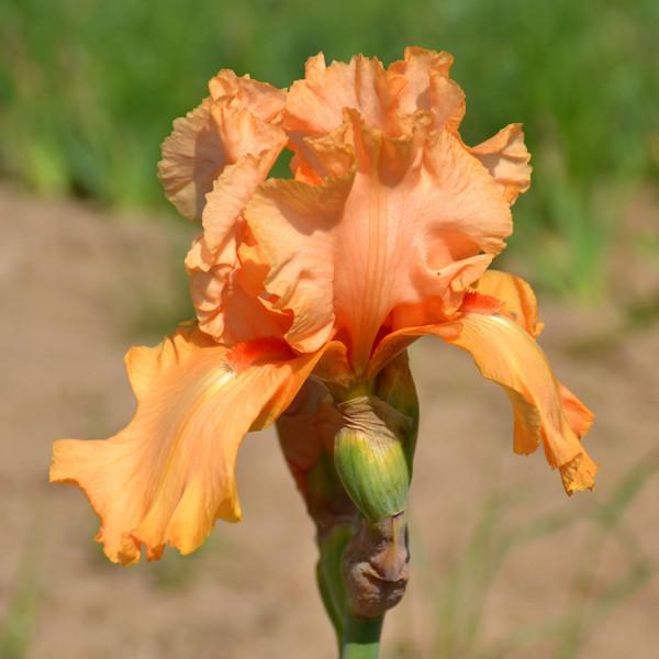 Iris Ma Pomme