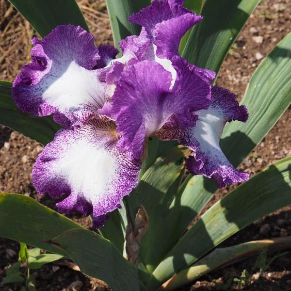 Iris Mariposa Autumn
