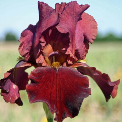Iris Red at night