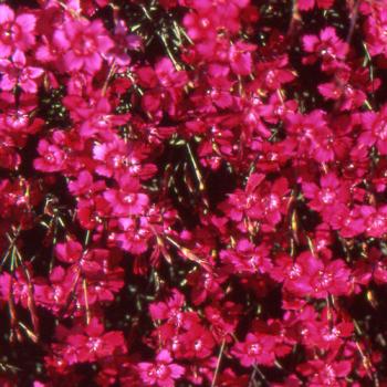 Dianthus deltoides ´Brilliant´