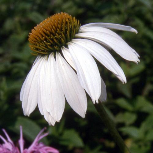 Echinacea ´Blanc´