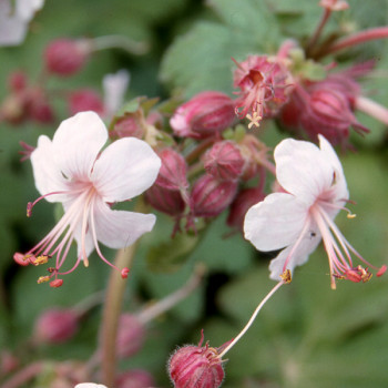 Geranium macrorrhizum ´Spessart´