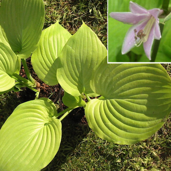Hosta ´Sum and Substance´