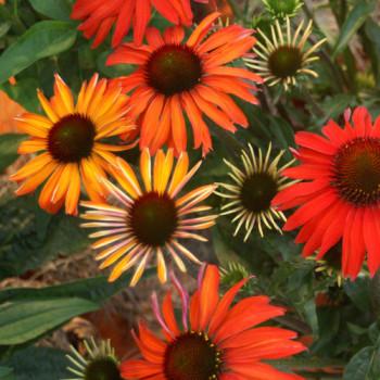 Echinacea «Hot Summer»