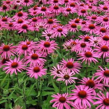Echinacea purpurea ´Magnus´