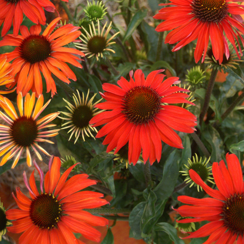 Echinacea « Hot Summer »