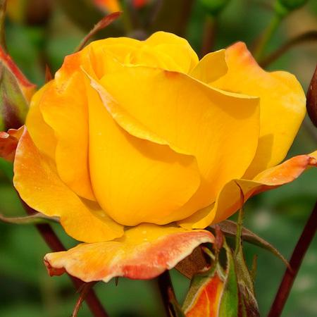 Collection rosiers Les Grands Coloris
