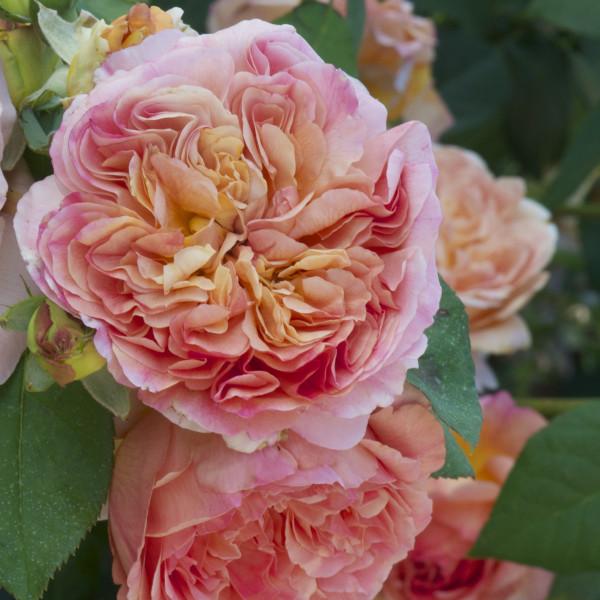 Rosier Papi Delbard® Le rosier Tige