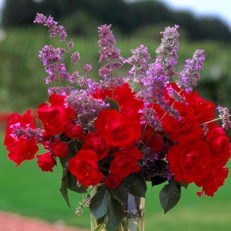 Rosier Centenaire de Lourdes® Rouge