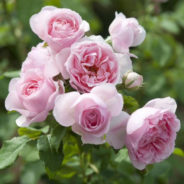 Rosier L´autre rose®