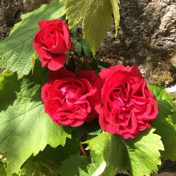 Rosier Rose Clos Vougeot®