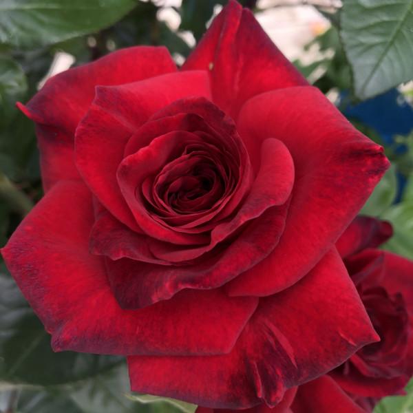 Rosier La rose Monsieur®