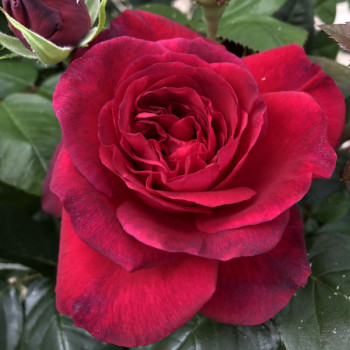 Rosier La rose Monsieur®