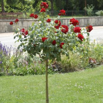 Rosier Château D´Amboise® Le rosier Tige