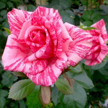 Rosier Pink Intuition®